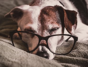 white and brown dachshund with black framed eyeglasses 1009922 370x280 - Como cuidar do meu pet idoso?