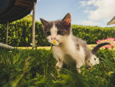 white and grey kitten smelling white daisy flower 1472999 370x280 - Página inicial